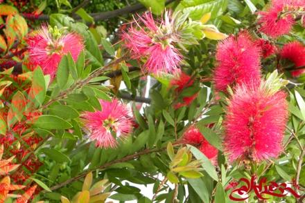 Amierinkz - Bottlebrush(Calliestemon Viminalis)-medical Herb
